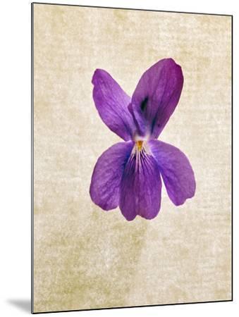 Sweet Violets, Violets, Viola Odorata, Blossom, Violet-Axel Killian-Mounted Photographic Print