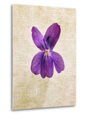 Sweet Violets, Violets, Viola Odorata, Blossom, Violet-Axel Killian-Metal Print