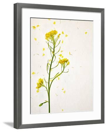 White Mustard, Mustard, Sinapis Alba, Stalk, Blossoms, Yellow-Axel Killian-Framed Photographic Print