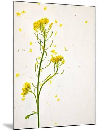 White Mustard, Mustard, Sinapis Alba, Stalk, Blossoms, Yellow-Axel Killian-Mounted Photographic Print