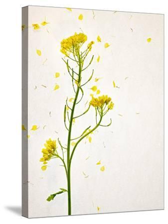 White Mustard, Mustard, Sinapis Alba, Stalk, Blossoms, Yellow-Axel Killian-Stretched Canvas Print