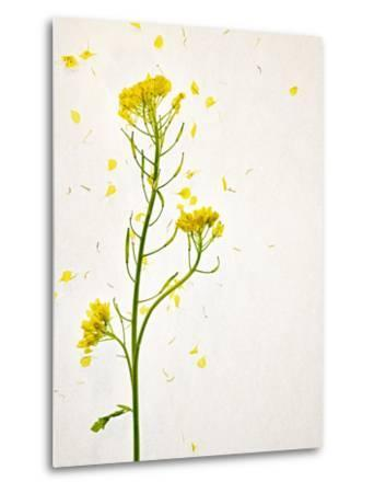 White Mustard, Mustard, Sinapis Alba, Stalk, Blossoms, Yellow-Axel Killian-Metal Print