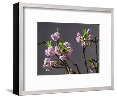 Branch of Cherry Blossoms in Front of Grey Background-C. Nidhoff-Lang-Framed Photographic Print