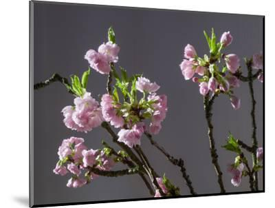 Branch of Cherry Blossoms in Front of Grey Background-C. Nidhoff-Lang-Mounted Photographic Print