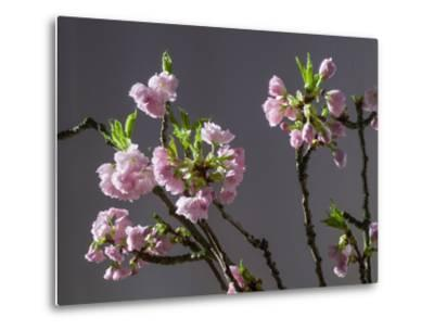 Branch of Cherry Blossoms in Front of Grey Background-C. Nidhoff-Lang-Metal Print