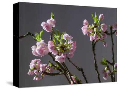 Branch of Cherry Blossoms in Front of Grey Background-C. Nidhoff-Lang-Stretched Canvas Print
