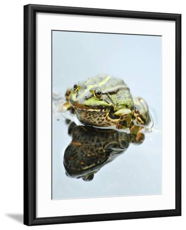 Small Pool Frog, Water, Mirroring, Frontal-Harald Kroiss-Framed Photographic Print