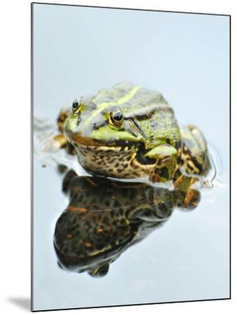 Small Pool Frog, Water, Mirroring, Frontal-Harald Kroiss-Mounted Photographic Print