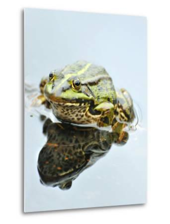 Small Pool Frog, Water, Mirroring, Frontal-Harald Kroiss-Metal Print