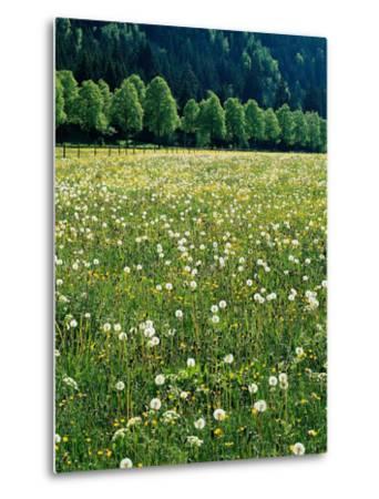 Netherlands, Lisse, Tulip Field-Thonig-Metal Print