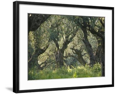 Greece, Olive Grove, Olive Trees, Old-Thonig-Framed Photographic Print