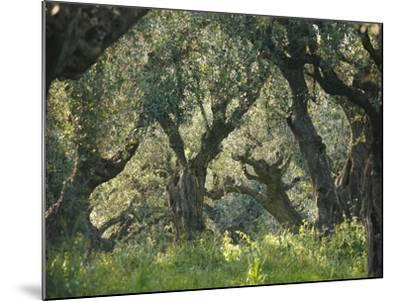 Greece, Olive Grove, Olive Trees, Old-Thonig-Mounted Photographic Print