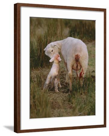 Neuseeland, Schaf, Lamm, Geburt, Schafe, Mutter, Lv¤Mmchen-Thonig-Framed Photographic Print