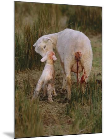 Neuseeland, Schaf, Lamm, Geburt, Schafe, Mutter, Lv¤Mmchen-Thonig-Mounted Photographic Print