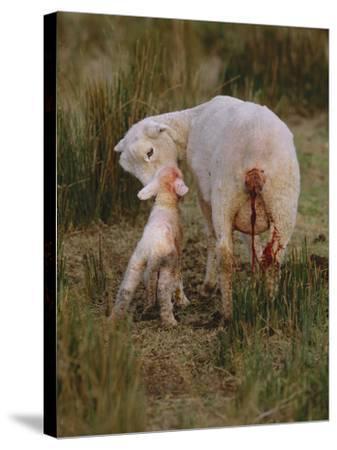 Neuseeland, Schaf, Lamm, Geburt, Schafe, Mutter, Lv¤Mmchen-Thonig-Stretched Canvas Print