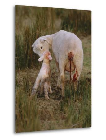 Neuseeland, Schaf, Lamm, Geburt, Schafe, Mutter, Lv¤Mmchen-Thonig-Metal Print