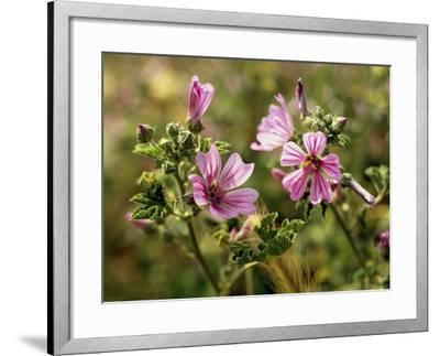 Common Mallow, Malva Silvestris, Blooms-Thonig-Framed Photographic Print