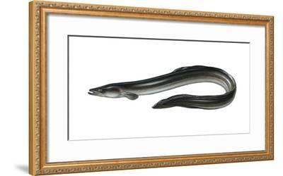 Illustration, European Eel, Anguilla Anguilla, Not Freely for Book-Industry, Series-Carl-Werner Schmidt-Luchs-Framed Photographic Print