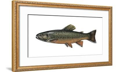 Illustration, Bachsaibling, Salvenius Fontinalis, Not Freely for Book-Industry, Series-Carl-Werner Schmidt-Luchs-Framed Photographic Print