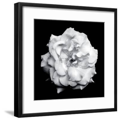 Blossom of a White Garden Rose on Black Background-Alaya Gadeh-Framed Photographic Print
