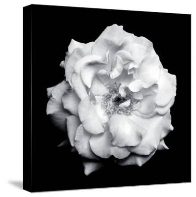 Blossom of a White Garden Rose on Black Background-Alaya Gadeh-Stretched Canvas Print