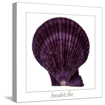 Maritime Still Life with Scallop-Uwe Merkel-Stretched Canvas Print