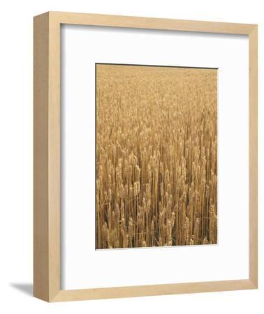 Wheat Field, Grain, Ears of Wheat-Thonig-Framed Photographic Print