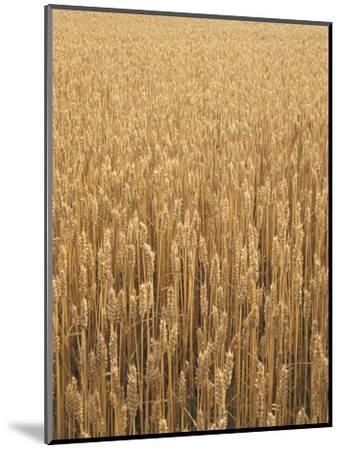 Wheat Field, Grain, Ears of Wheat-Thonig-Mounted Photographic Print