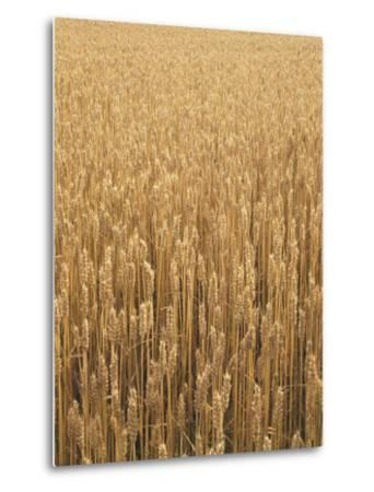 Wheat Field, Grain, Ears of Wheat-Thonig-Metal Print
