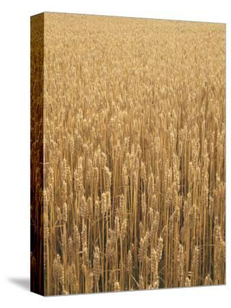 Wheat Field, Grain, Ears of Wheat-Thonig-Stretched Canvas Print