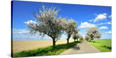 Germany, Saxony-Anhalt, Near Naumburg, Blossoming Cherry Trees at Country Road-Andreas Vitting-Stretched Canvas Print