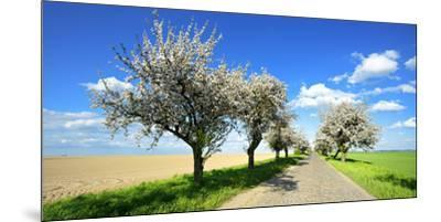 Germany, Saxony-Anhalt, Near Naumburg, Blossoming Cherry Trees at Country Road-Andreas Vitting-Mounted Premium Photographic Print