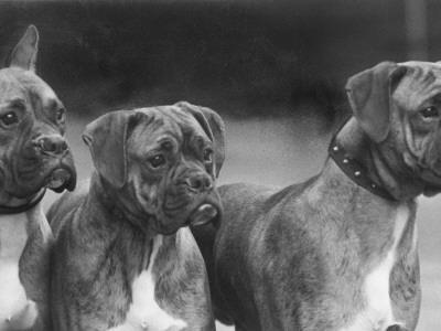 The Heads of Three Boxers Belonging to Mrs Sprigge--Framed Photographic Print