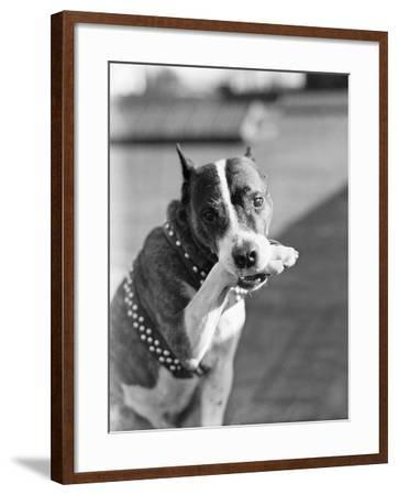 Dog Poses Holding One Paw in His Mouth--Framed Photographic Print