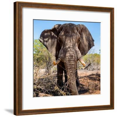 Awesome South Africa Collection Square - Portrait of African Elephant-Philippe Hugonnard-Framed Photographic Print
