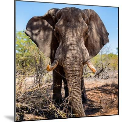 Awesome South Africa Collection Square - Portrait of African Elephant-Philippe Hugonnard-Mounted Photographic Print
