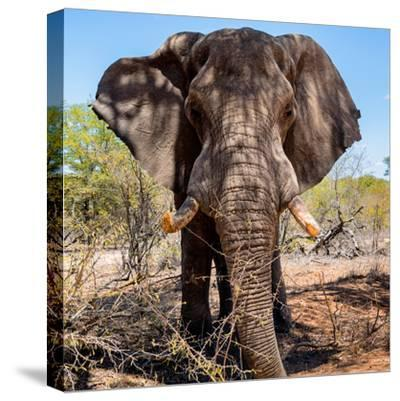 Awesome South Africa Collection Square - Portrait of African Elephant-Philippe Hugonnard-Stretched Canvas Print