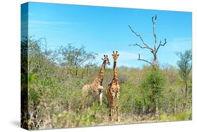 Awesome South Africa Collection - Two Giraffes-Philippe Hugonnard-Stretched Canvas Print