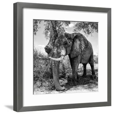 Awesome South Africa Collection Square - African Elephant B&W-Philippe Hugonnard-Framed Photographic Print