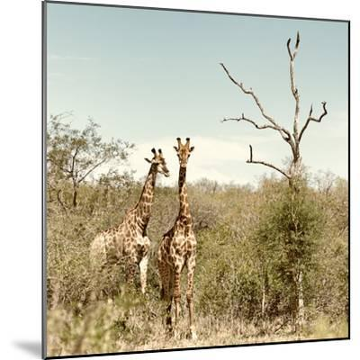 Awesome South Africa Collection Square - Giraffes in Savannah II-Philippe Hugonnard-Mounted Photographic Print