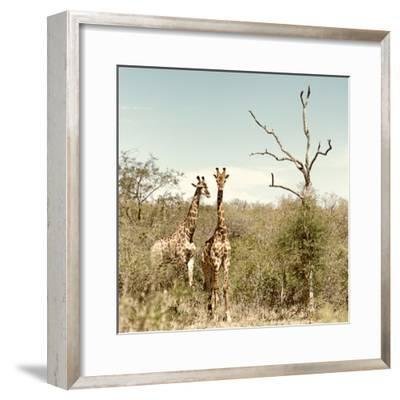 Awesome South Africa Collection Square - Giraffes in Savannah II-Philippe Hugonnard-Framed Photographic Print