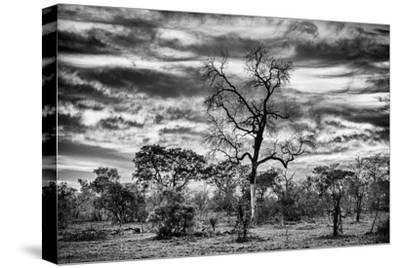 Awesome South Africa Collection B&W - African Landscape with Acacia Tree II-Philippe Hugonnard-Stretched Canvas Print