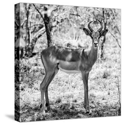 Awesome South Africa Collection Square - Young Impala Portrait B&W-Philippe Hugonnard-Stretched Canvas Print