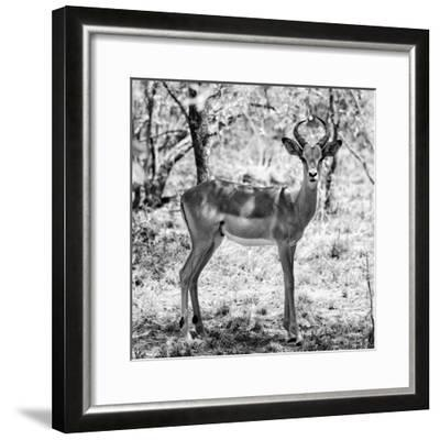 Awesome South Africa Collection Square - Young Impala Portrait B&W-Philippe Hugonnard-Framed Photographic Print