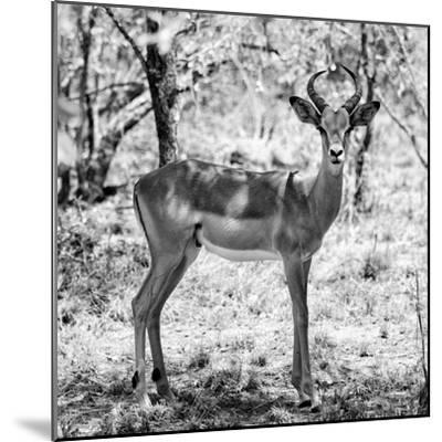 Awesome South Africa Collection Square - Young Impala Portrait B&W-Philippe Hugonnard-Mounted Photographic Print