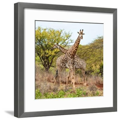 Awesome South Africa Collection Square - Crossing Giraffes-Philippe Hugonnard-Framed Photographic Print