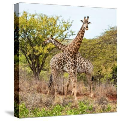 Awesome South Africa Collection Square - Crossing Giraffes-Philippe Hugonnard-Stretched Canvas Print
