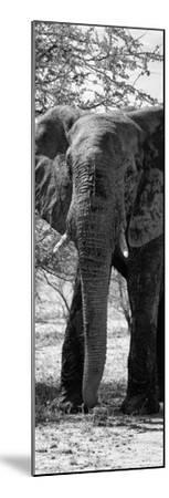 Awesome South Africa Collection Panoramic - Old African Elephant B&W-Philippe Hugonnard-Mounted Photographic Print