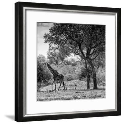 Awesome South Africa Collection Square - Wild Giraffe B&W-Philippe Hugonnard-Framed Photographic Print