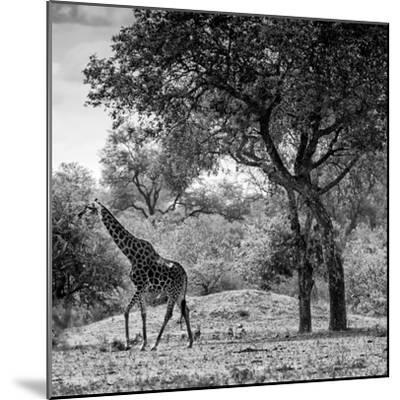 Awesome South Africa Collection Square - Wild Giraffe B&W-Philippe Hugonnard-Mounted Photographic Print